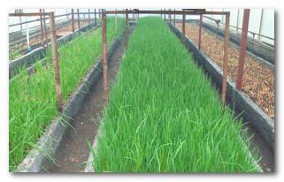 выращиваем лук в теплице