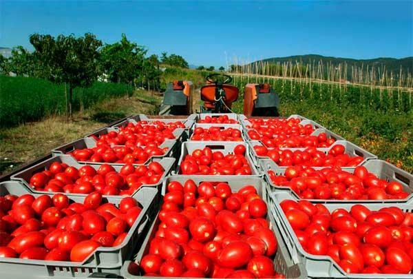 Выращивание помидоров на продажу