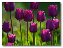 Сиреневые тюльпаны