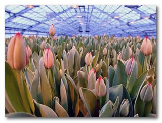 тепличные тюльпаны
