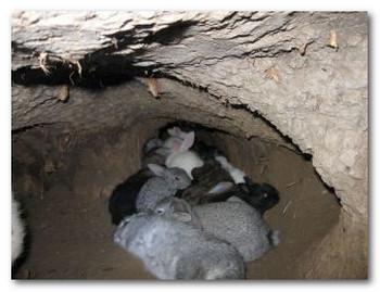 Фото: разведение кроликов в ямах