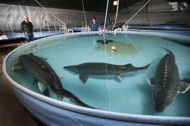 Бизнес на выращивании рыбы