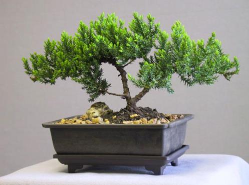 Выращивание карликового дерева бонсай