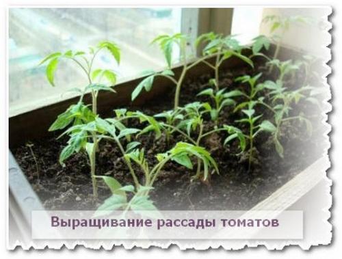 Выращивание рассады томатов своими руками