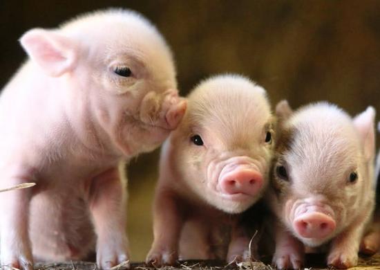 Технология разведения свиней