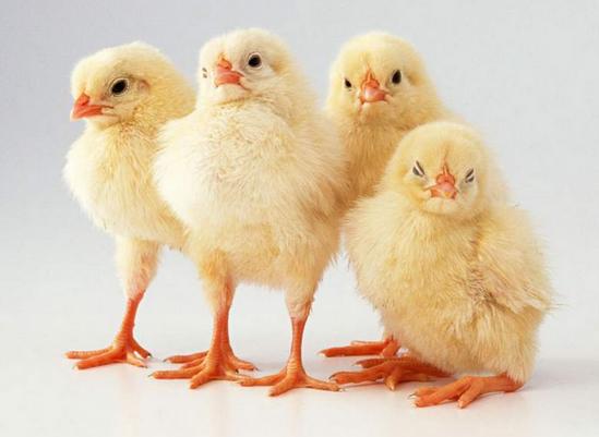 Цыплята-бройлеры