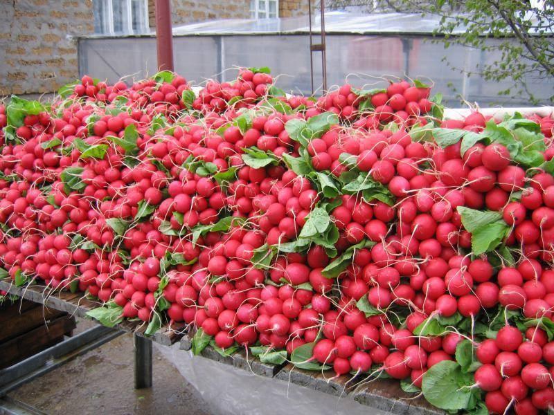 Бизнес на выращивании редиса