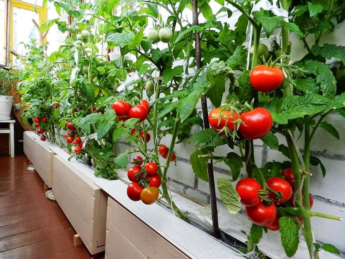 Выращивание ранних томатов