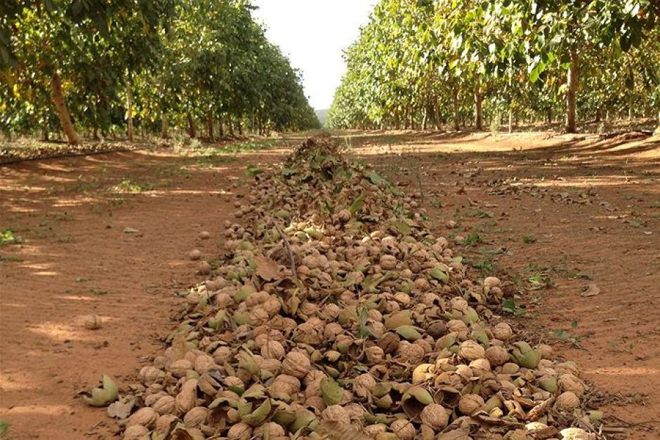 выращивание гречкого ореха
