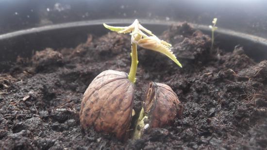 пророщенный грецкий орех 2