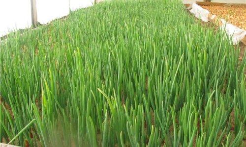 Открытие бизнеса на выращивании зеленого лука