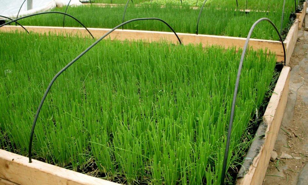Бизнес на выращивании зеленого лука