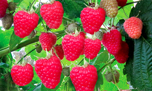Бизнес по выращиванию малины