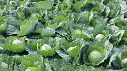 Бизнес на выращивании капусты