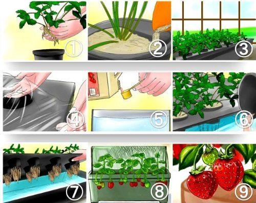 Принцип выращивания клубники на гидропонике в теплице