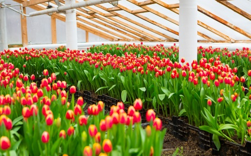 Бизнес на выращивании цветов в теплице