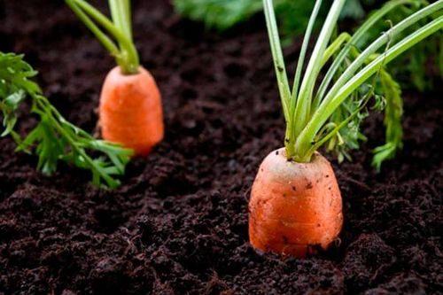 Бизнес на выращивании моркови 502