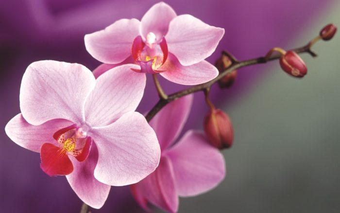 gde rodilas orxideya e1493280270852 - Бизнес идея - выращивание орхидей