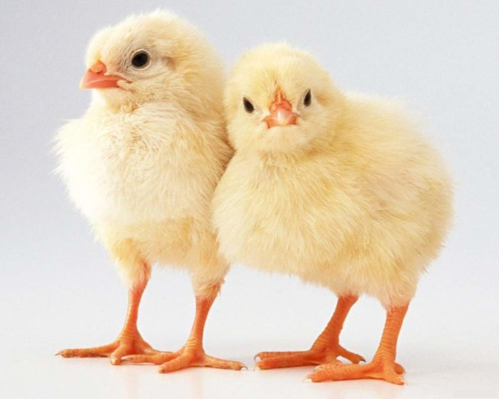 283418 e1494847290727 - Бизнес идея - выращивание цыплят с помощью брудера