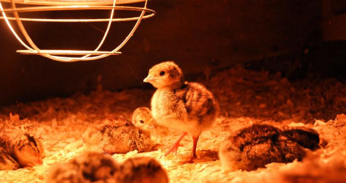 Бизнес идея — выращивание цыплят с помощью брудера