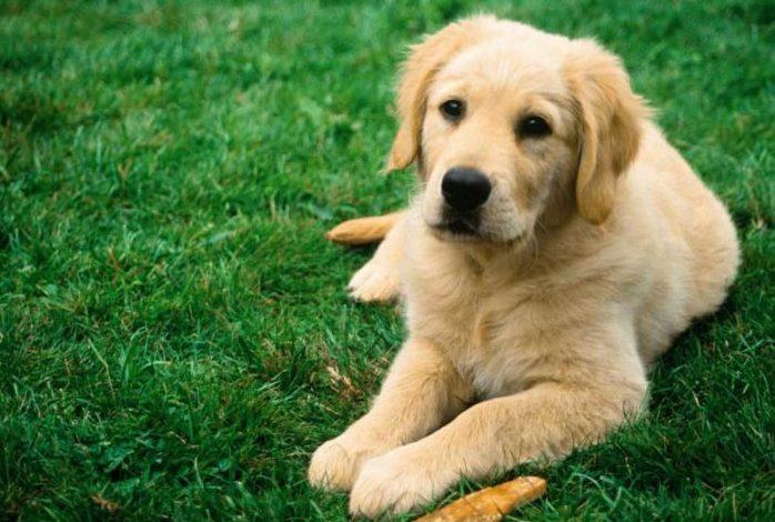 9 e1494917685181 - Бизнес идея - разведение породистых собак