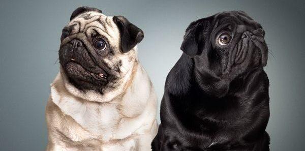 grumming mopsa e1494917443868 - Бизнес идея - разведение породистых собак