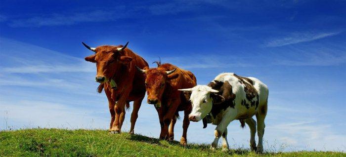 Как открыть бизнес на разведении бычков с нуля, с чего начать и сколько можно заработать