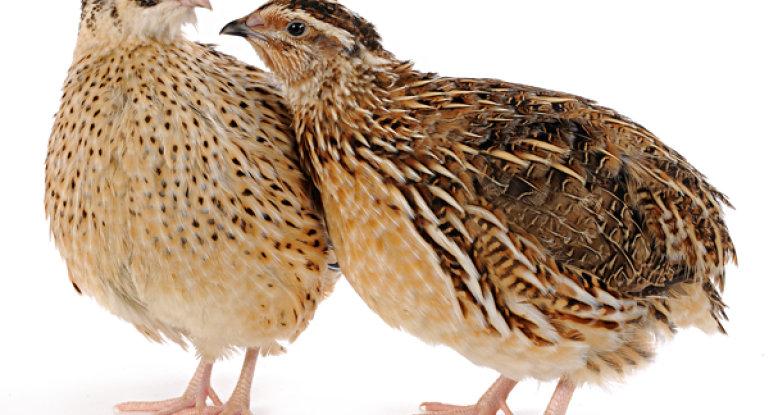 Все о перепелиной ферме: можно ли заработать на выращивании птицы