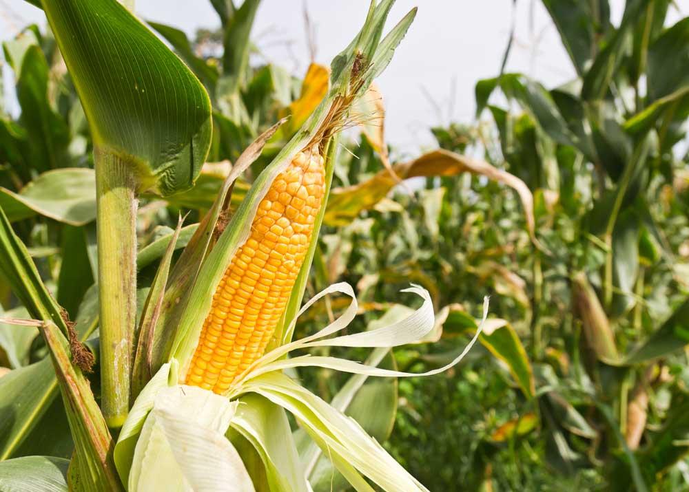 Выращивание кукурузы: с чего начать и сколько можно заработать