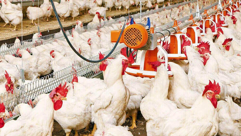 Плюсы домашней мини птицефабрики