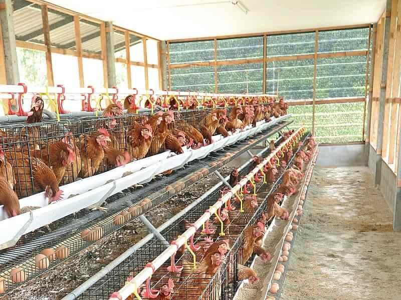 Мини-птицеферма: 4 этапа открытия домашнего хозяйства