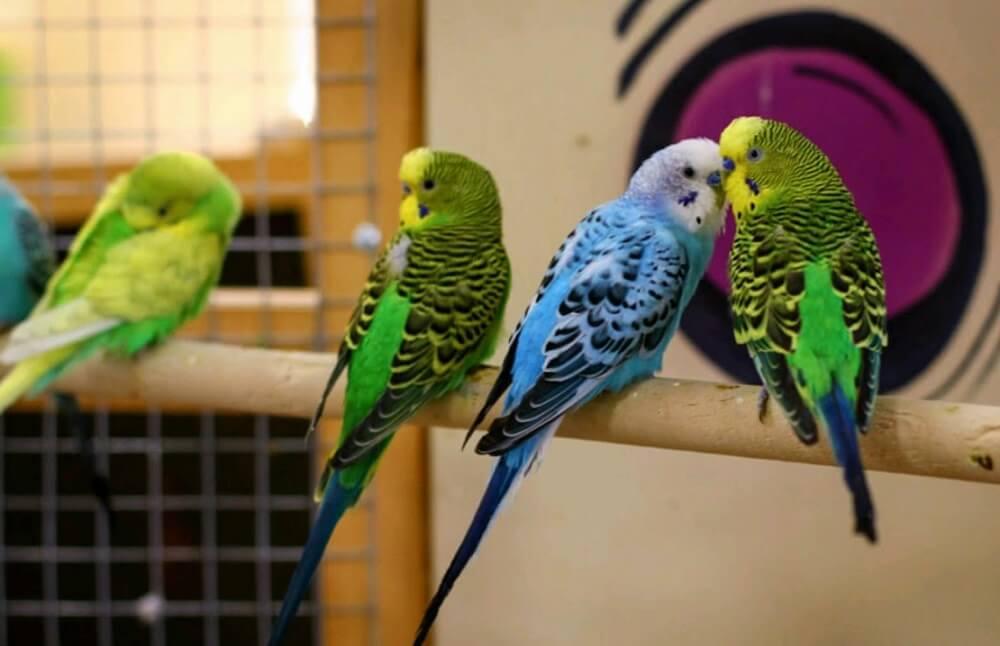 Где продавать попугаев