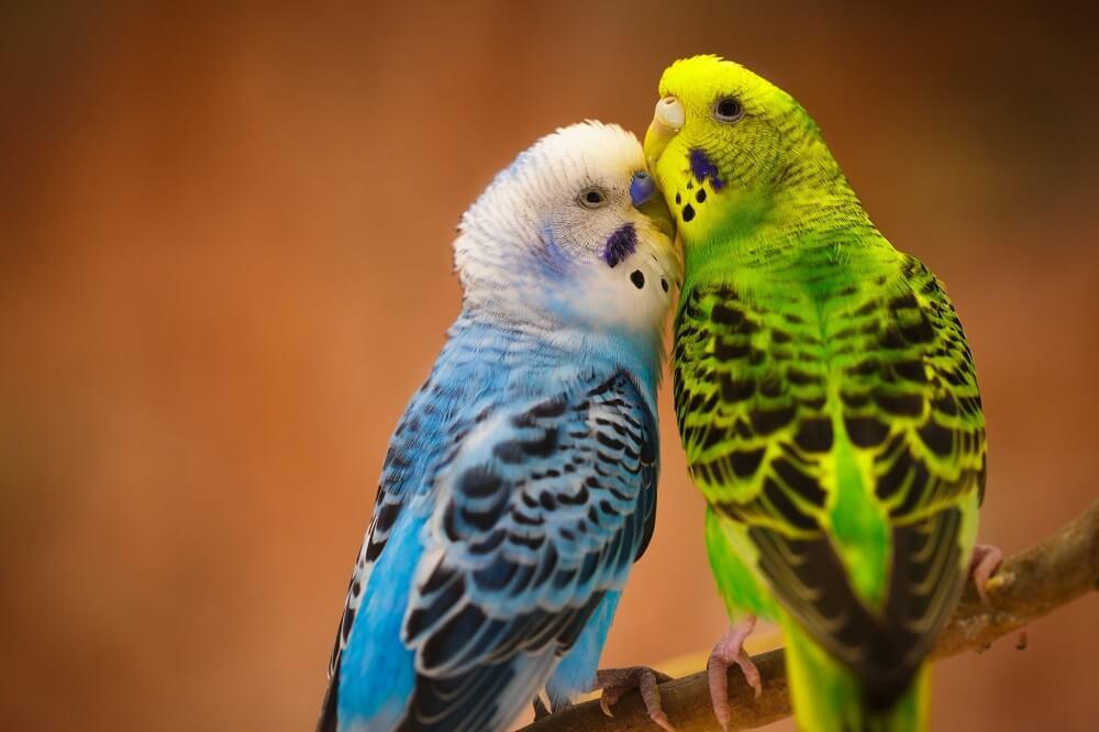 Особенности размножения попугаев