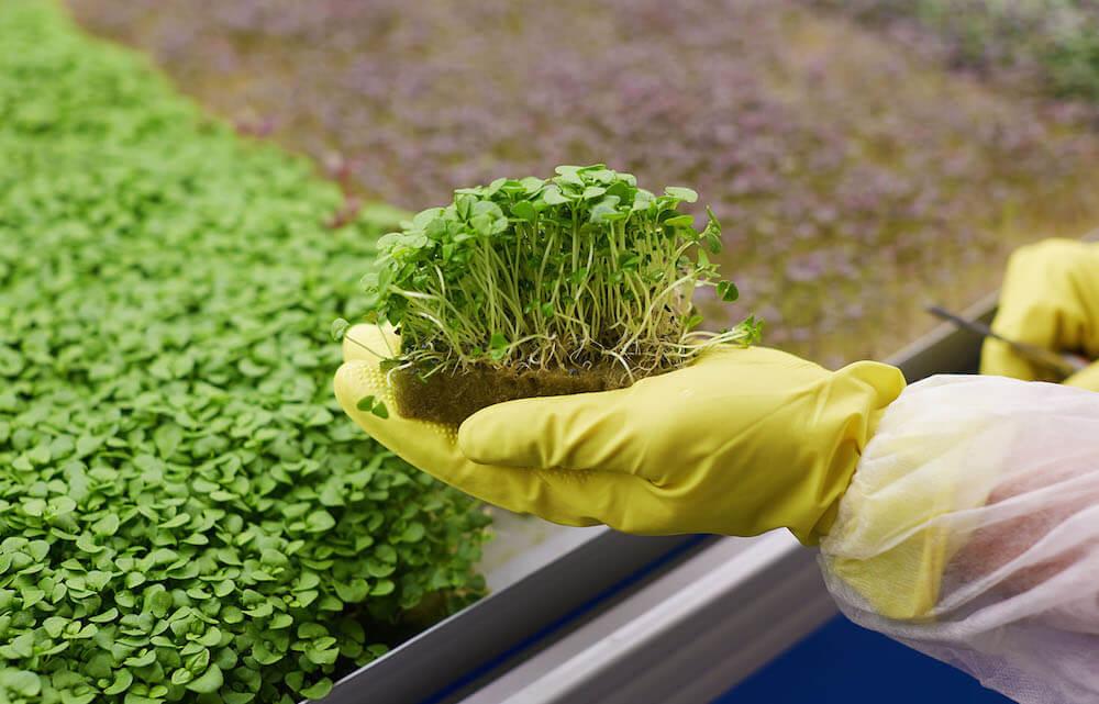 Бизнес-план выращивание микрозелени