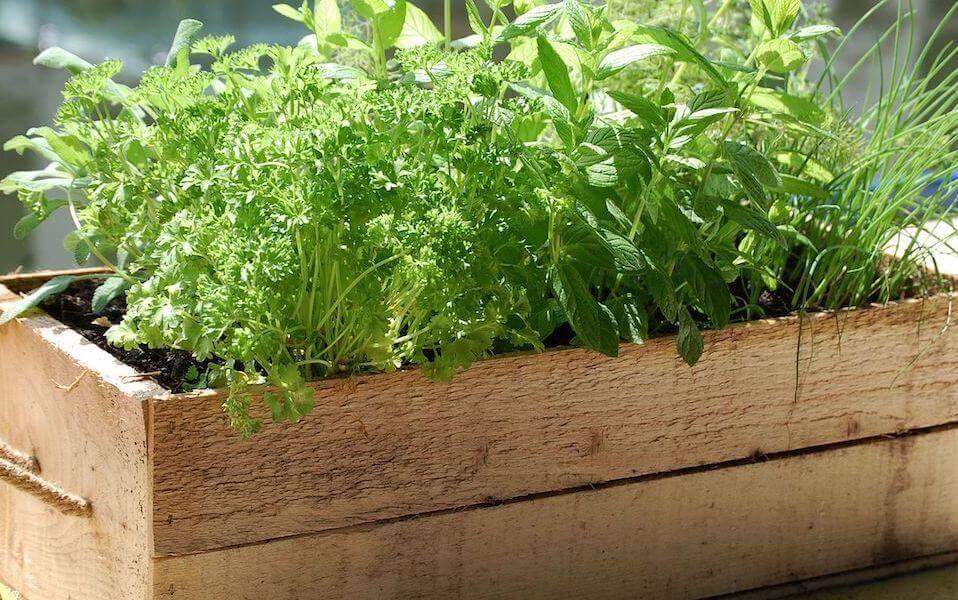 Зелень, петрушка, укроп-культура для выращивания