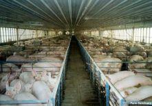 77787732post 1207 1211318332 - Бизнес план свиноводства