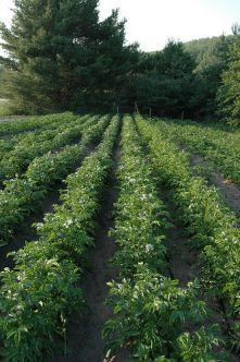 815419122 - Бизнес план по выращиванию картофеля